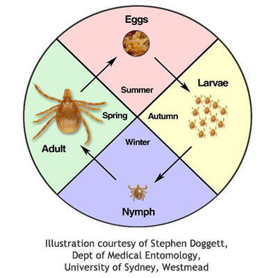 insect allergy australasian society of clinical immunology Australian Paralysis Tick Diagram Australian Paralysis Tick Diagram #17